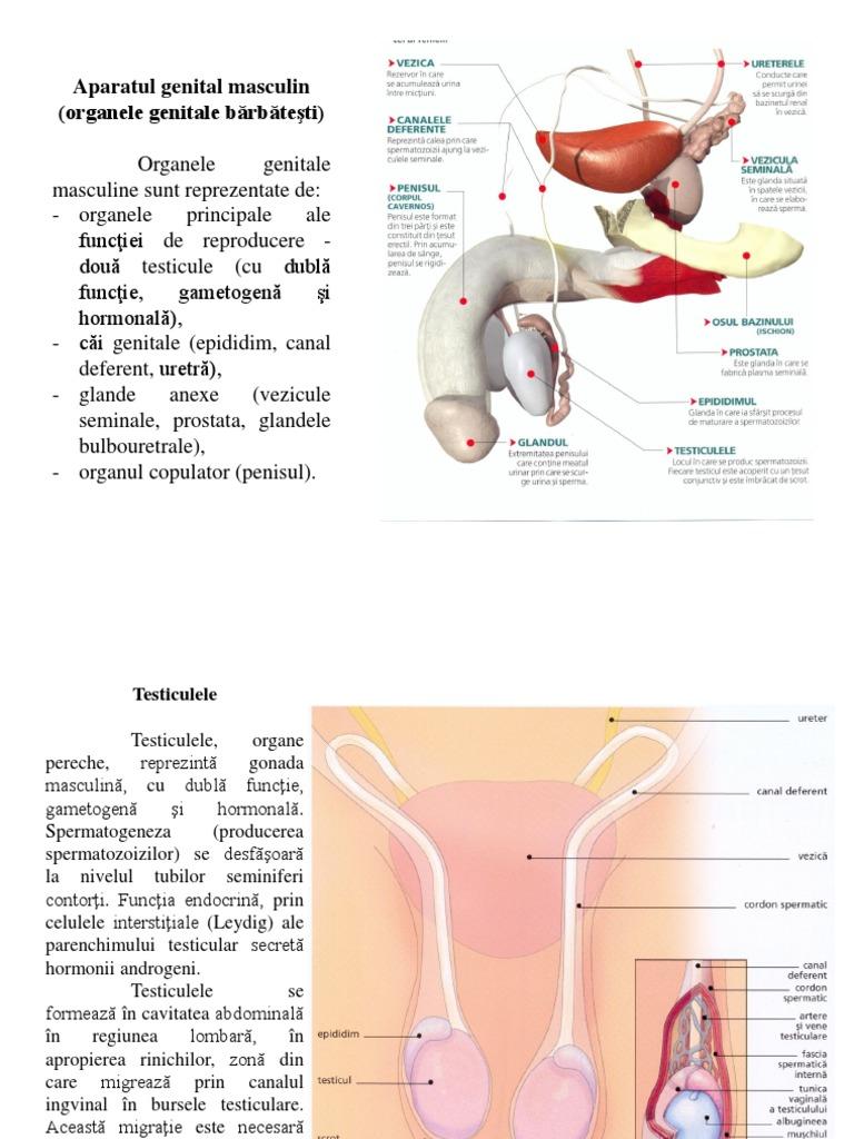 penisului și organelor genitale feminine