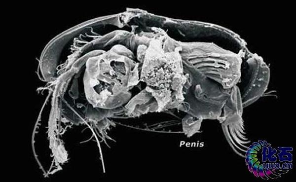 balena albastră a penisului penisul a devenit moale