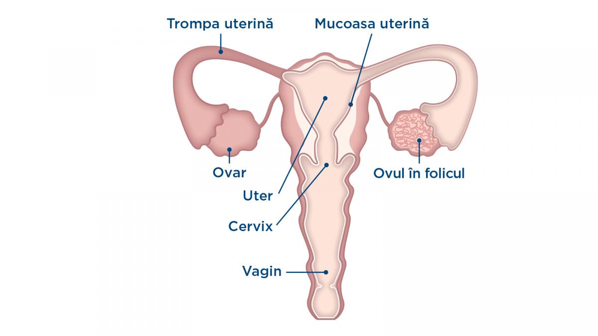 ovulația în timpul unei erecții