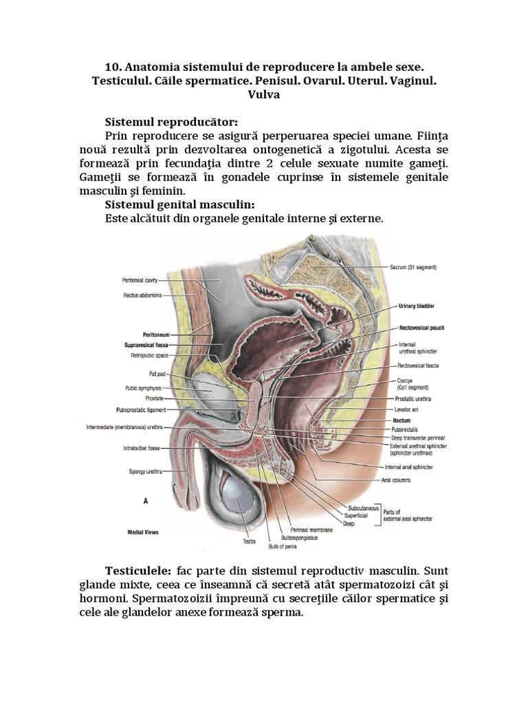 Glans penis în Română - Germană-Română Dicţionar - Glosbe
