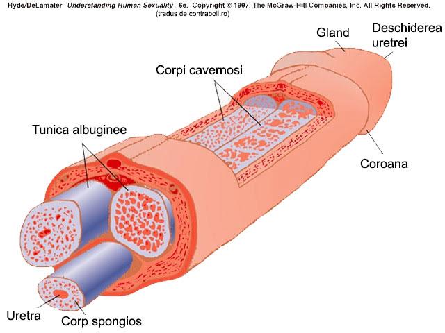 Fractura de penis: simptome, diagnostic, tratament - iasiservicii.ro