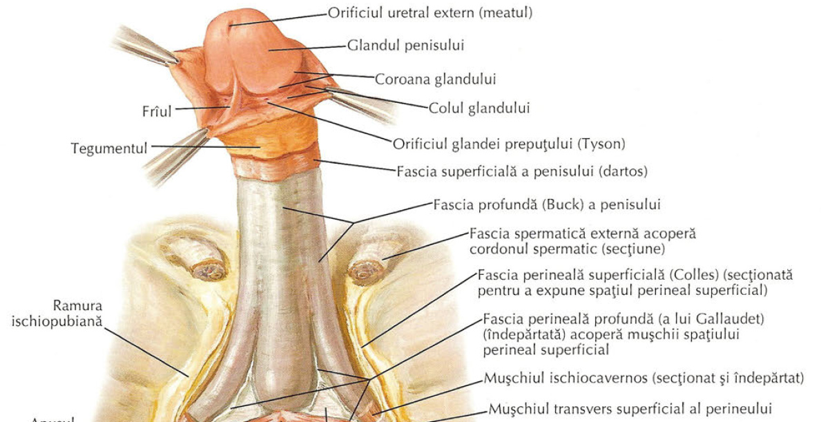 mușchi neted al penisului)