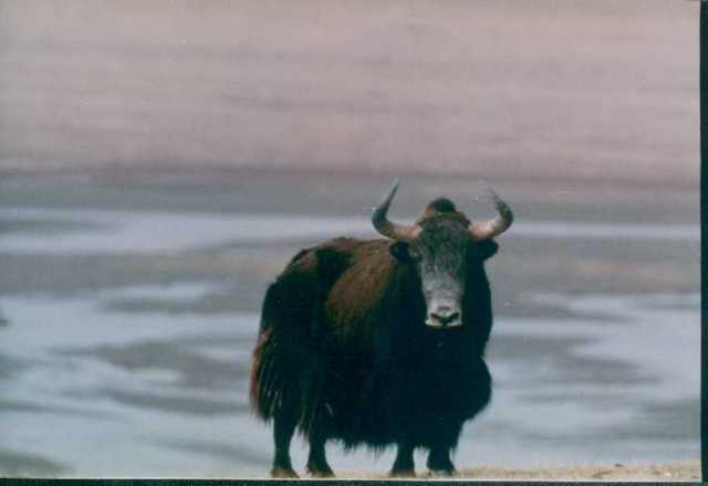 penis yak tibet)
