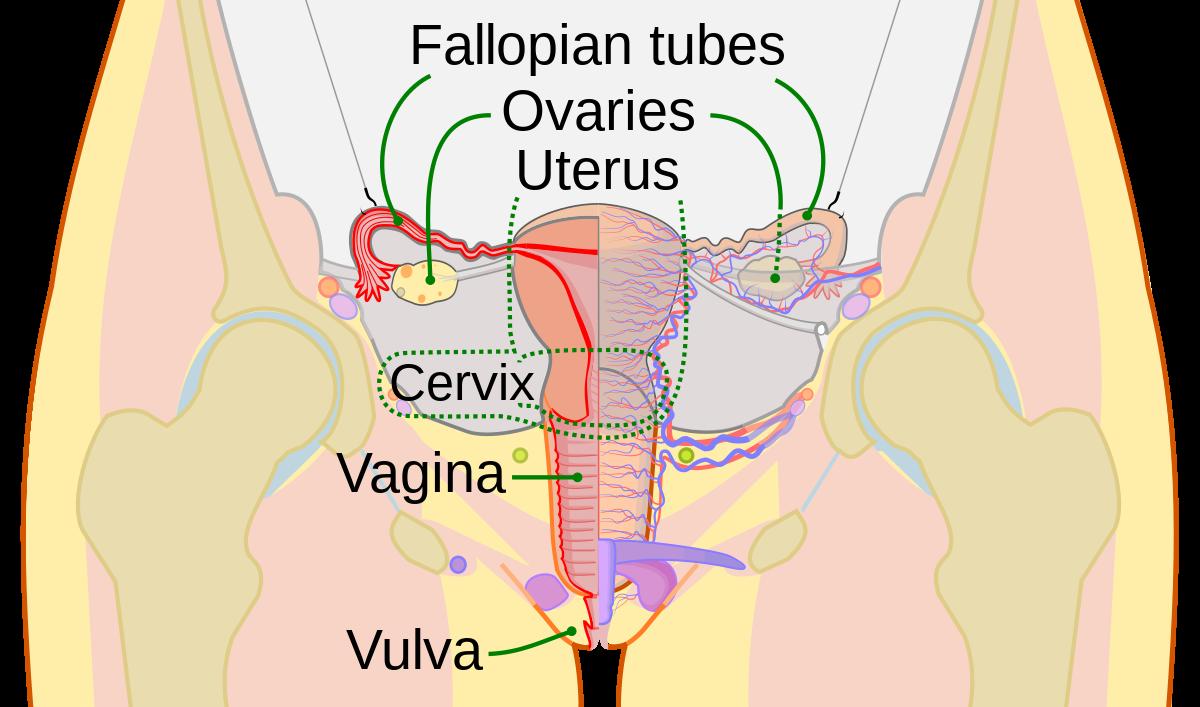 penis cu vulva)