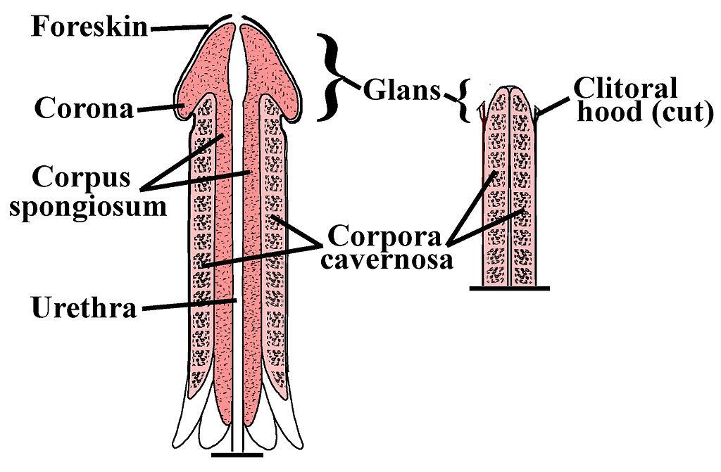 exerciții pentru penisul mărit
