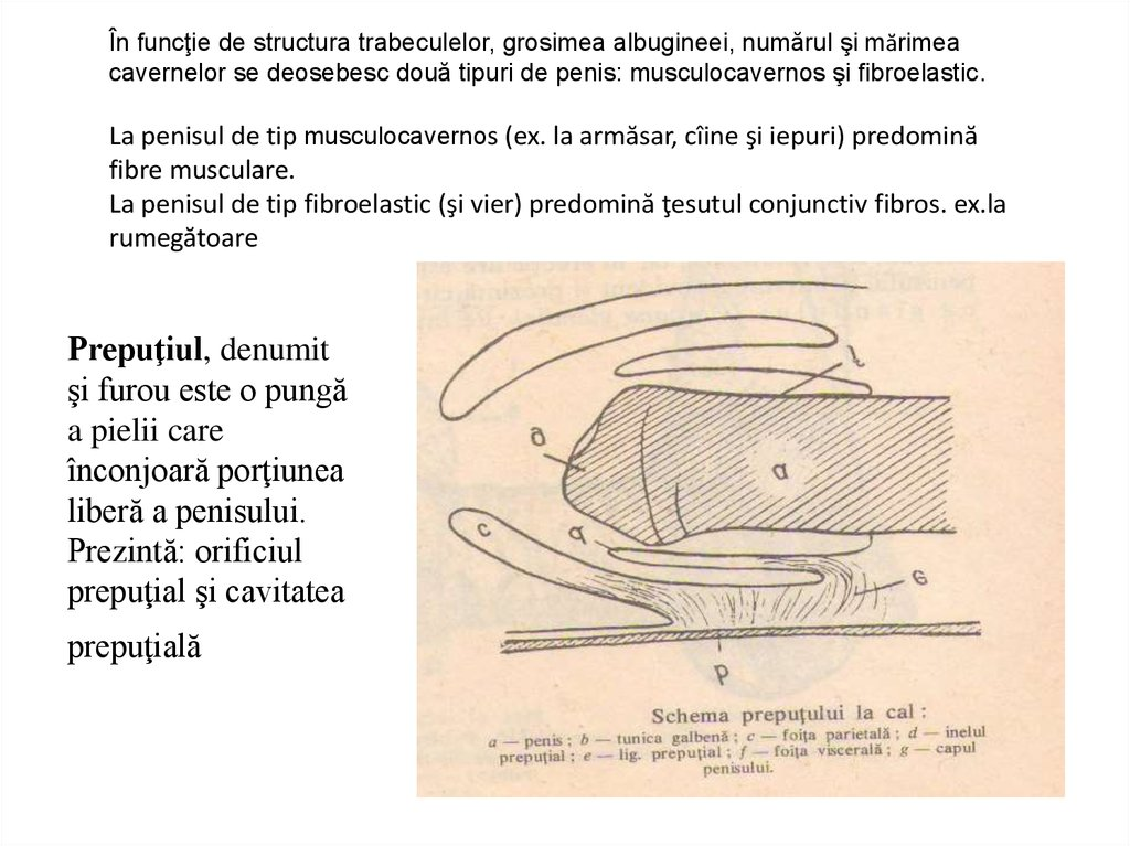 structura și aspectul penisului