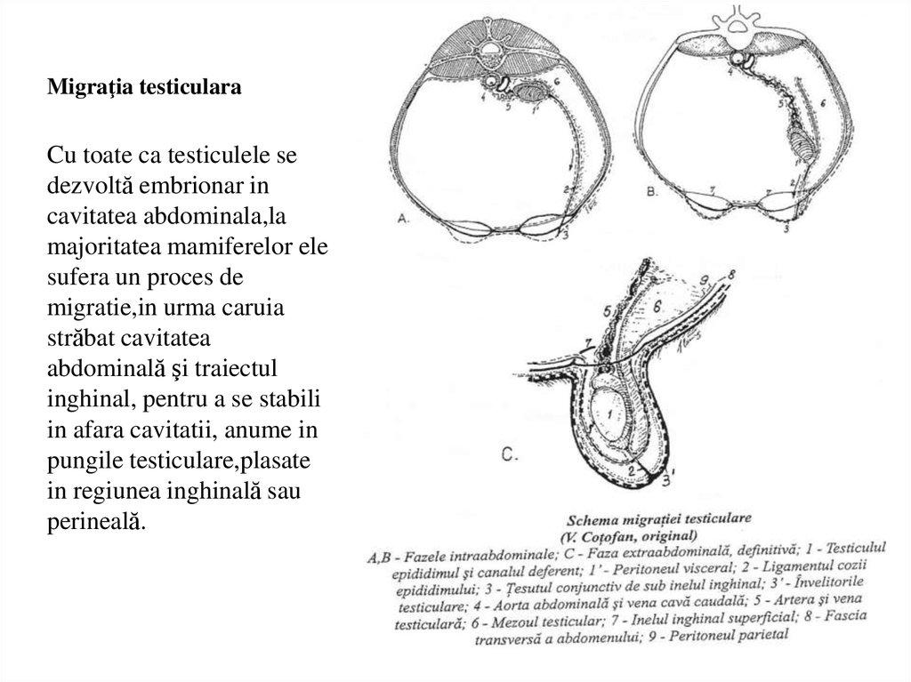 formarea penisului)