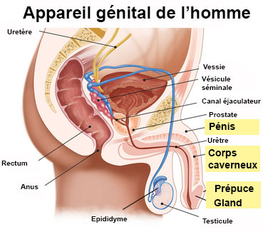schema penisului masculin