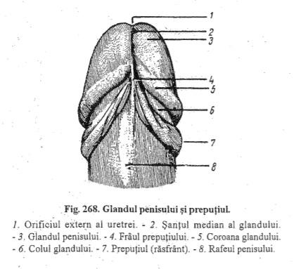 septul penisului)