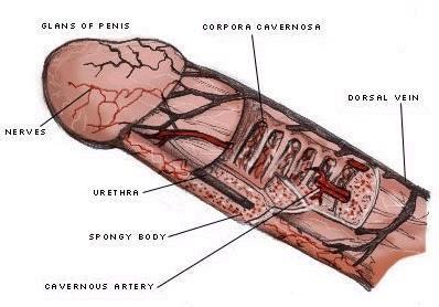 sfincterul penisului