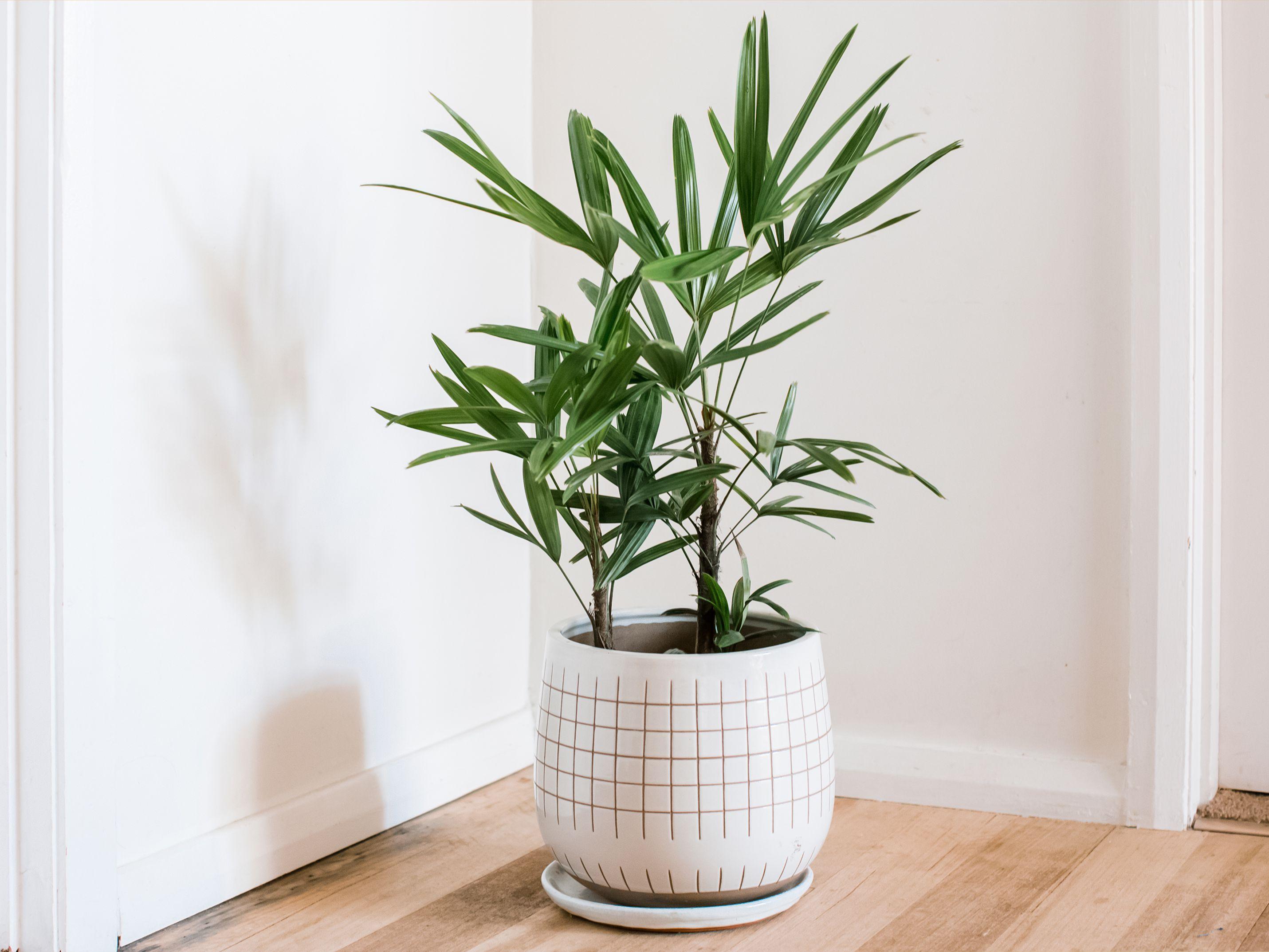 planta care ridică erecții