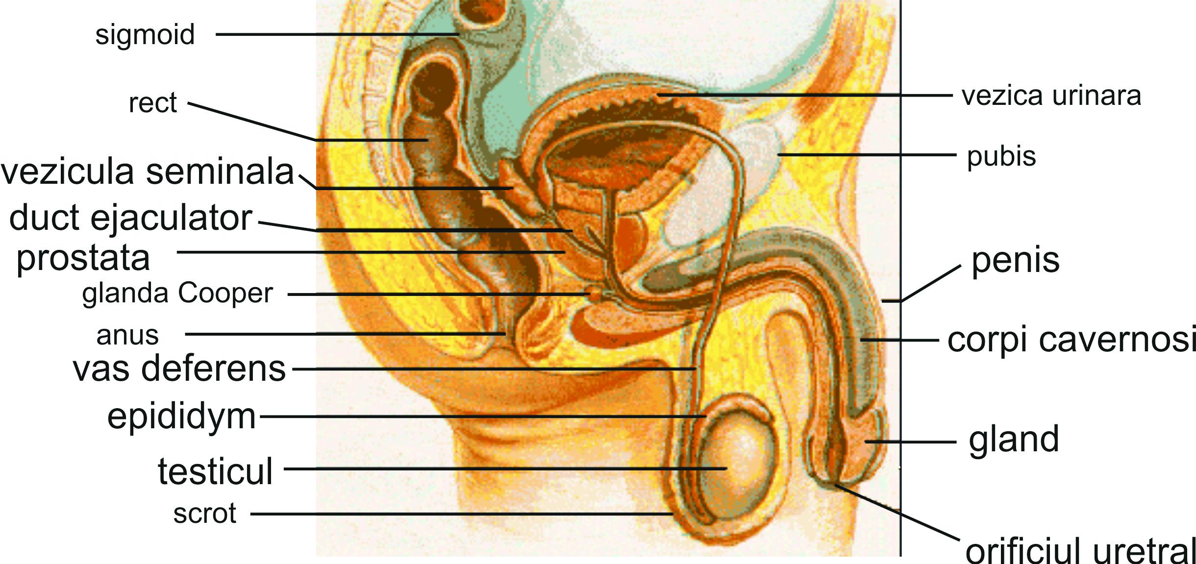 vedere structura penisului)