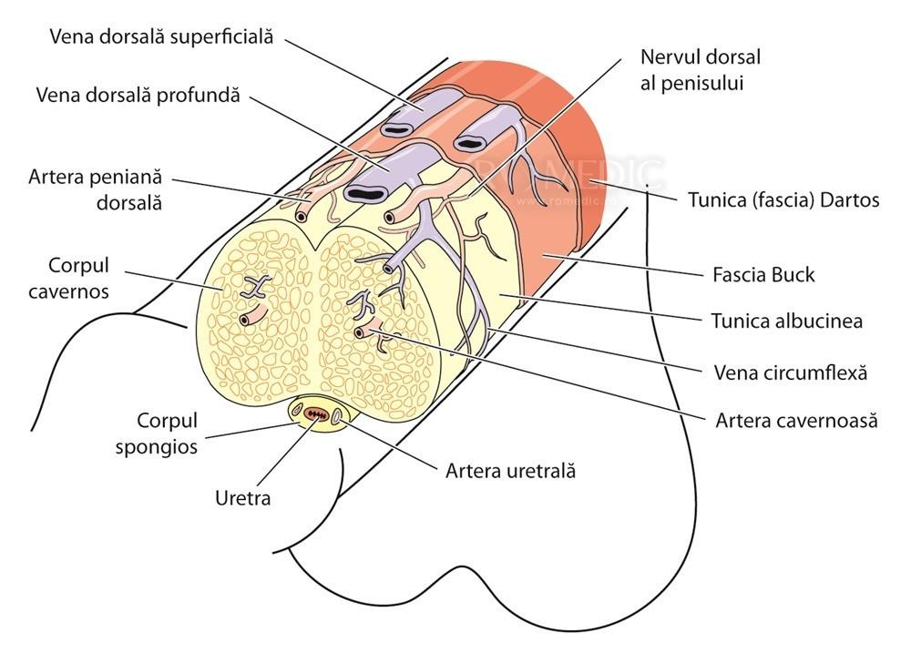 există cartilaj în penis)