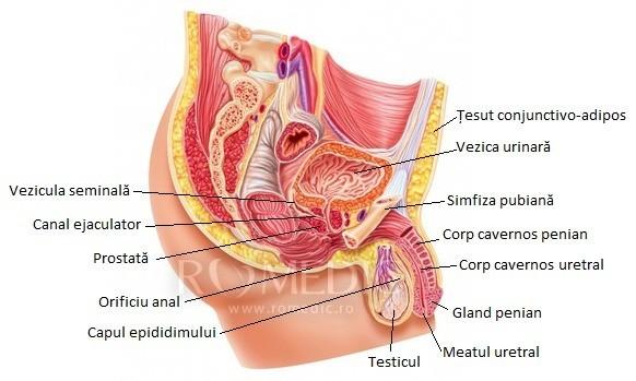 structura umană a penisului