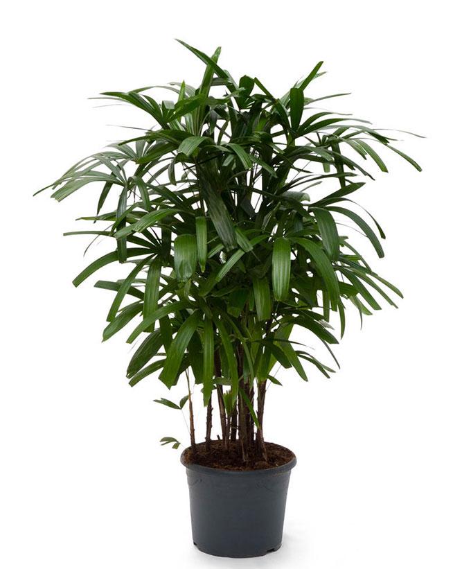 Sculătoarea, minune pentru potenţă! Plantele pot înlocui cu succes pilulele albastre