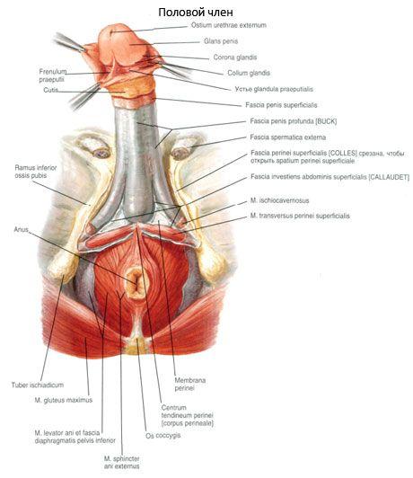 cum este localizat penisul masculin