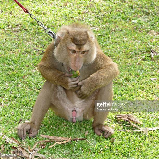 penis gorilă