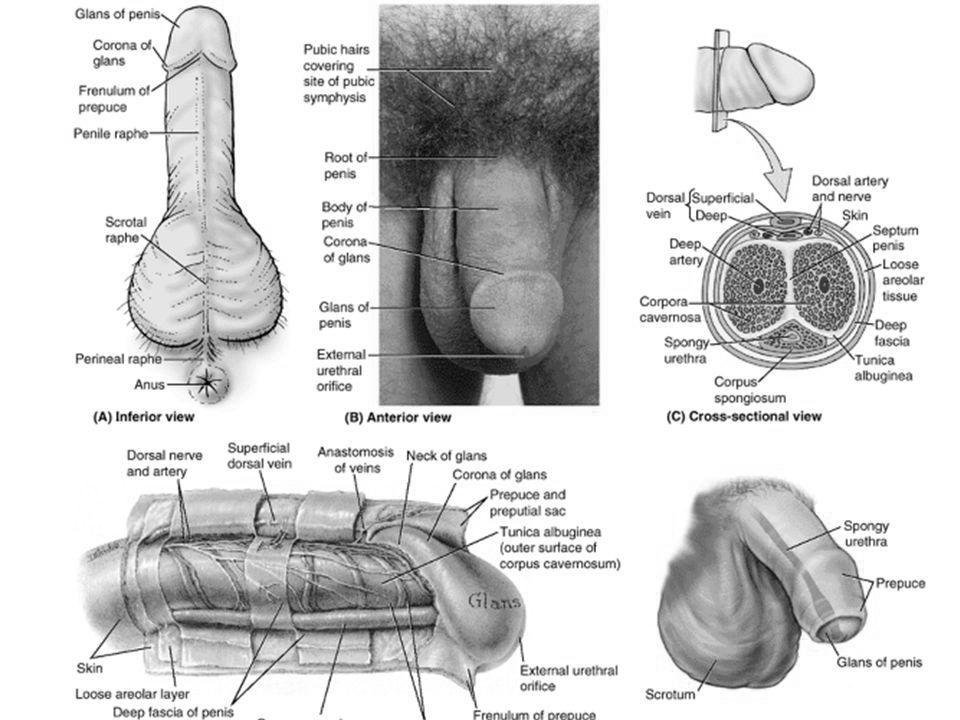 dimensiunea penisului depinde de erecție