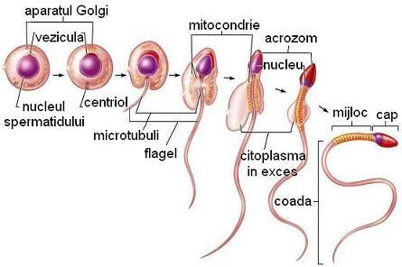 erecția organului masculin