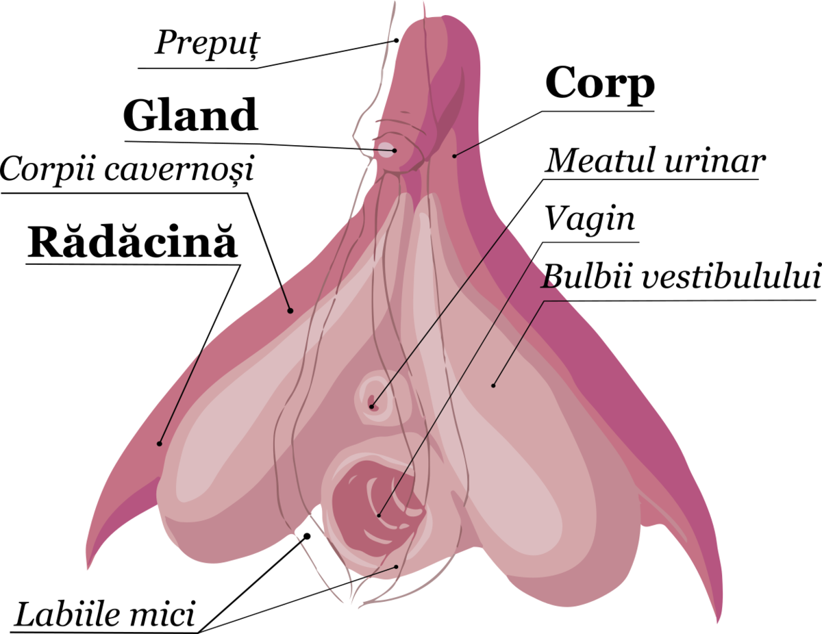 la debutul actului sexual, penisul cade