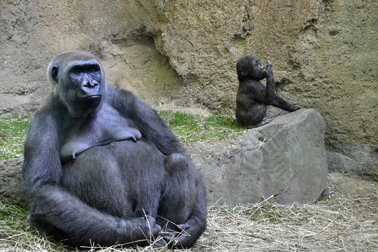 dimensiunea penisului gorilă)