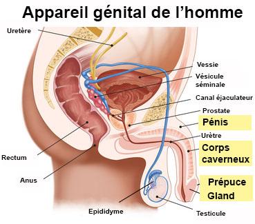 organ masculin de erecție