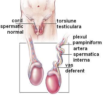 boli ale testiculelor și ale penisului)