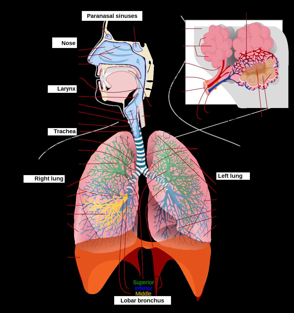 forum penis lung)