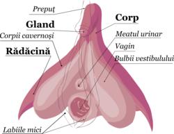 mamelon în timpul erecției)