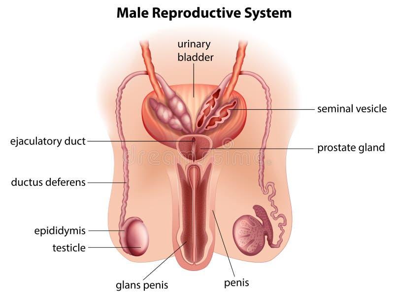 penis organ masculin