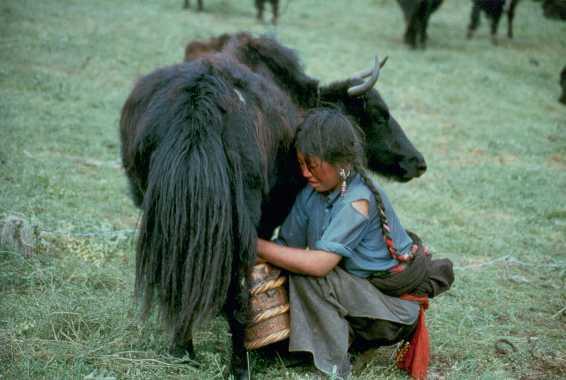 penis yak tibet