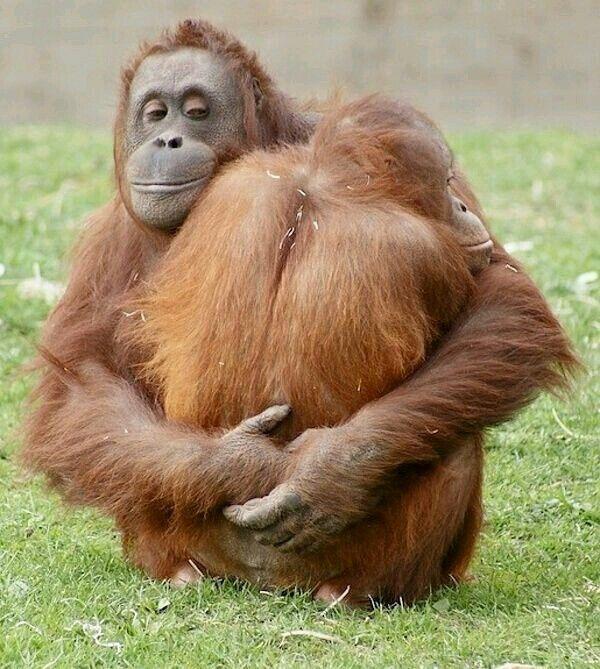 penisuri de orangutan metoda de mărire a penisului
