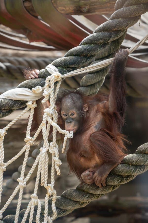 penisuri de orangutan după curs nu există erecție