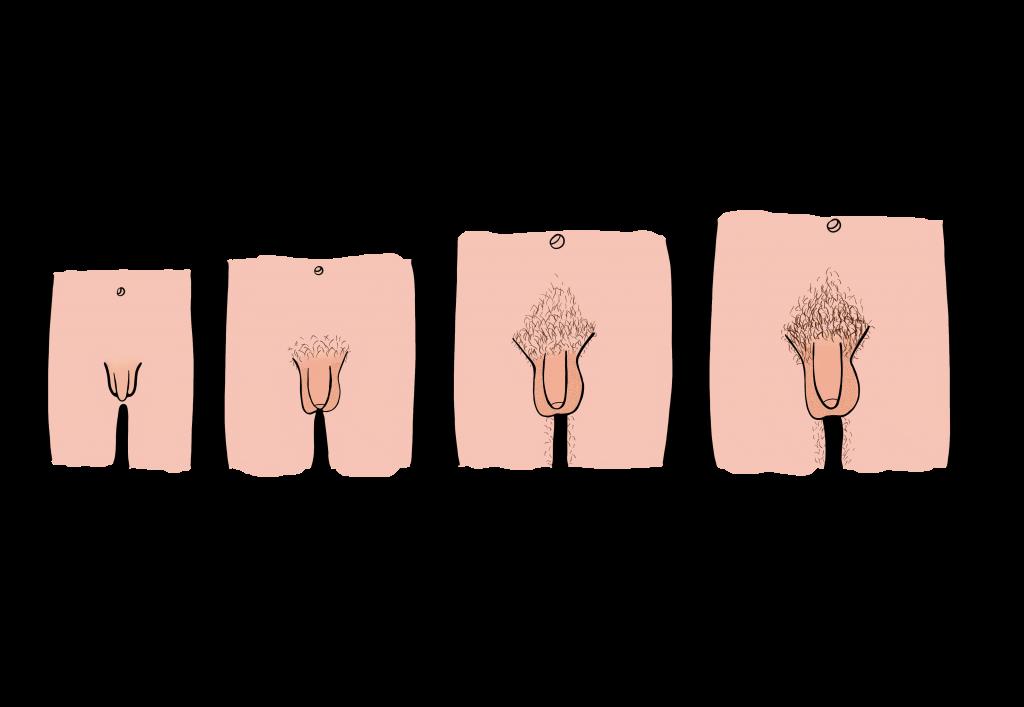 pubertatea penisului