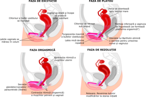 structura penisului feminin)