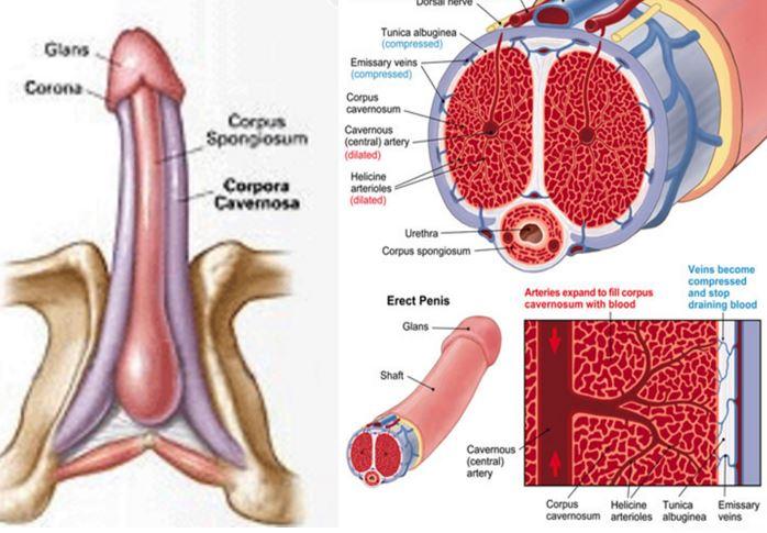 tipuri de membri de sex masculin în erecție oameni cu penisuri
