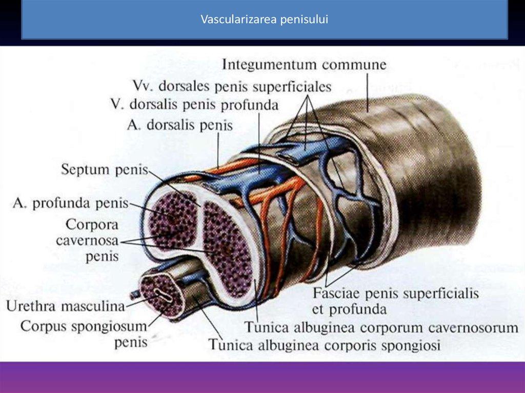 tipuri de structura penisului