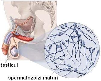 boli ale testiculelor și ale penisului