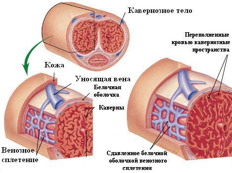cauzele erecției pe termen scurt)