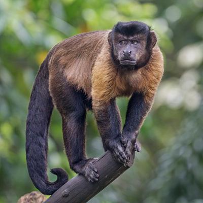 os în penisul primatelor